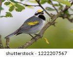 singing adult breeding male... | Shutterstock . vector #1222207567