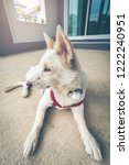 a cute white dog be awake at... | Shutterstock . vector #1222240951