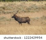 A Young Bull Elk Stands In A...