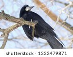 a funny dishevelled crow sits... | Shutterstock . vector #1222479871