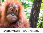 a closeup photo of a bornean...   Shutterstock . vector #1222733887