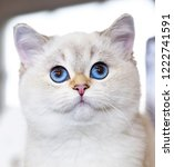 portrait of a british cat white ... | Shutterstock . vector #1222741591