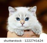 portrait of a british cat white ... | Shutterstock . vector #1222741624