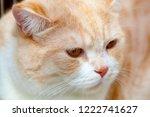 red cat gold chinchilla.... | Shutterstock . vector #1222741627