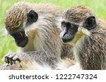 green vervet monkey ... | Shutterstock . vector #1222747324