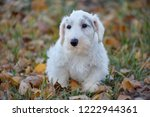 Cute sealyham terrier puppy close up. Welsh border terrier or cowley terrier. Two month old.