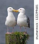 A Pair Of Western Gulls...