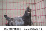 a young pigeon with avian pox... | Shutterstock . vector #1223062141