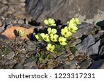 arctic poppy   franz josef land | Shutterstock . vector #1223317231