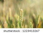 wheat in the farm | Shutterstock . vector #1223413267
