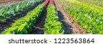 lettuce grows in the open... | Shutterstock . vector #1223563864
