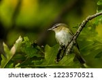 small songbird in canada | Shutterstock . vector #1223570521