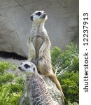 close up of two nosey meerkats | Shutterstock . vector #12237913