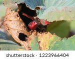 crimson finch  northern... | Shutterstock . vector #1223966404