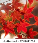 Colorful Red Maple Autumn...