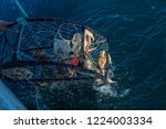 Crab Pots Being Pulled From Th...