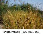 reeds on the river bank. marsh...   Shutterstock . vector #1224030151
