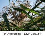 reeds on the river bank. marsh...   Shutterstock . vector #1224030154