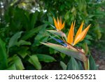 the bird of paradise tree is... | Shutterstock . vector #1224065521