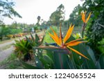 the bird of paradise tree is... | Shutterstock . vector #1224065524