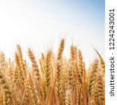 wheat in the farm | Shutterstock . vector #1224243001