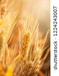 wheat in the farm | Shutterstock . vector #1224243007