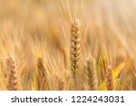 wheat in the farm | Shutterstock . vector #1224243031