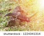 varanus salvator black in the... | Shutterstock . vector #1224341314