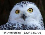 snowy owl. close up portrait... | Shutterstock . vector #1224356701