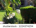 frangipani flower on the...   Shutterstock . vector #1224374254