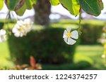 frangipani flower on the...   Shutterstock . vector #1224374257