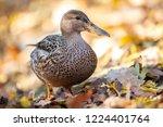 mallard duck. portrait of... | Shutterstock . vector #1224401764