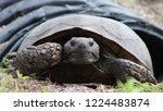 Gopher Tortoise Emerging From...