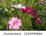 these flowers are cosmos. ... | Shutterstock . vector #1224490864
