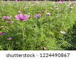 these flowers are cosmos. ... | Shutterstock . vector #1224490867