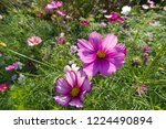 these flowers are cosmos. ... | Shutterstock . vector #1224490894
