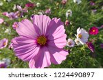 these flowers are cosmos. ... | Shutterstock . vector #1224490897