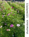 these flowers are cosmos. ... | Shutterstock . vector #1224490921