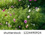 these flowers are cosmos. ... | Shutterstock . vector #1224490924