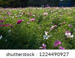 these flowers are cosmos. ... | Shutterstock . vector #1224490927