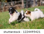 Stock photo picture of two cute elo puppies are running on the meadow 1224495421