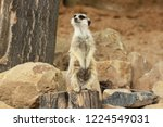 lonely suricata standing and... | Shutterstock . vector #1224549031