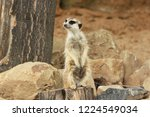 lonely suricata standing and... | Shutterstock . vector #1224549034