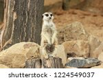 lonely suricata standing and... | Shutterstock . vector #1224549037