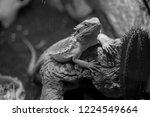 Iguana Rests On Tree Roots ...