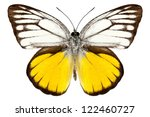 Stock photo butterfly species cepora aspasia orange gull in high definition extreme focus isolated on white 122460727