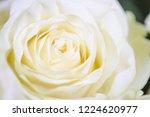 natural roses delicate white...   Shutterstock . vector #1224620977