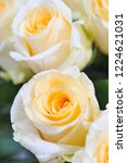 natural roses delicate yellow...   Shutterstock . vector #1224621031