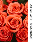 natural roses delicate red with ...   Shutterstock . vector #1224621154