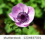 anemone coronaria  pink spring...   Shutterstock . vector #1224837331